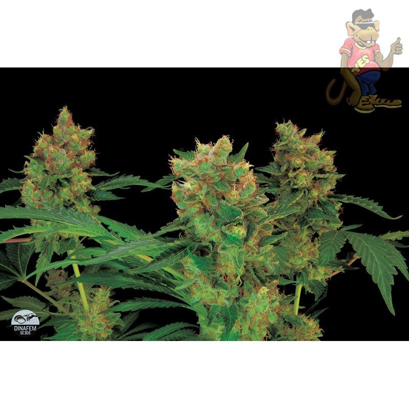 cannabispflanzen klein halten