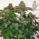 Barneys Farm 8 Ball Kush Seeds