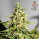 Barneys Farm Acapulco Gold Seeds