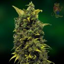 Barneys Farm Blue Cheese Seeds 5er