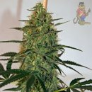 Barneys Farm Blue Mammoth AUTO Seeds 3er