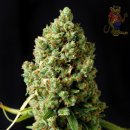 Barneys Farm Critical Kush Seeds