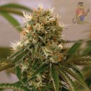 Barneys Farm Red Cherry Berry Seeds 5er