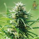 Barneys Farm Sweet Tooth Seeds