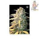 Bulk Seed Bank - Auto White Widow 5er Packung auto-feminisiert