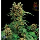 DINAFEM California Hashplant Seeds