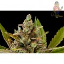 DINAFEM Blue Kush Seeds