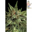 DINAFEM Fruit AUTO Seeds 3er