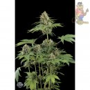 DINAFEM Purple Afghan Kush Seeds