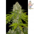 DINAFEM Power Kush Seeds 3er