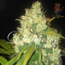 Delicious Black Russian Seeds 3er