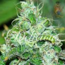Delicious Fruitty Chronic Juice Seeds 5er