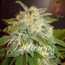 Delicious La Bella Afrodita Seeds 3er