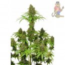Dutch Passion AUTO Blackberry Kush Seeds 3er Packung auto-feminisiert