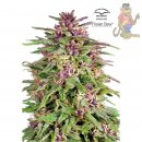 Dutch Passion Frisian Dew Seeds 5er