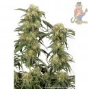 Dutch Passion Pamir Gold Seeds 5er