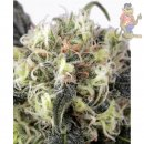 Dutch Passion Snowbud Seeds 5er
