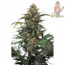 Dutch Passion Strawberry Cough Seeds 3er
