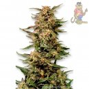 Dutch Passion Voodoo Seeds