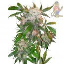 Dutch Passion White Widow Seeds 10er