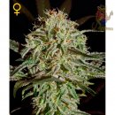 Strainhunters White Strawberry Skunk  Seeds
