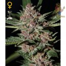 Greenhouse Bubba Kush Seeds
