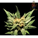 Greenhouse Diamond Girl Seeds 5er