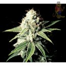Greenhouse Great White Shark Seeds 5er