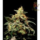 Greenhouse Kings Kush Seeds