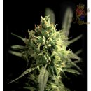Greenhouse Lemon Skunk Seeds 10er