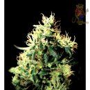 Greenhouse NL5 Haze Mist Seeds 5er