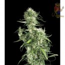 Greenhouse Nevilles Haze Seeds