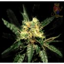 Greenhouse Pure Kush Seeds