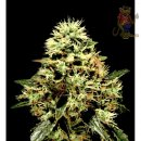 Greenhouse Super Bud Seeds