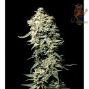 Greenhouse White Rhino Seeds 5er