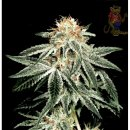 Greenhouse White Widow Seeds