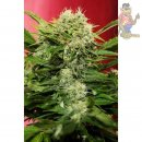 Joint Doctor Chronic Ryder Seeds