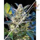 Joint Doctor Diesel Ryder Seeds