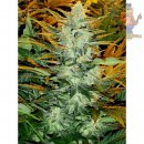 Joint Doctor Lowryder No2 Seeds