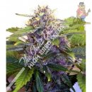 Joint Doctor Purple Ryder Seeds