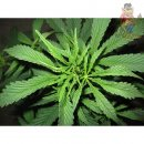 Mr. Nice Super Silver Haze Seeds 15er