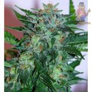 Samsara Flash Babylon Automatic Seeds 3er