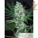 Samsara Green Love Potion Feminisiert Seeds 10er