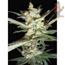 Samsara Supersonic Cristal Storm Automatic Seeds 3er