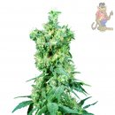 SensiSeeds American Dream Seeds 10er