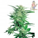 SensiSeeds Big Bud Seeds 10er regul�r