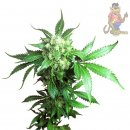 SensiSeeds Black Domina Seeds 10er