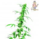 SensiSeeds Fruity Juice Seeds 10er