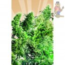 SensiSeeds Indoor Mix Seeds 25Stk