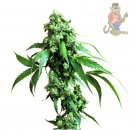 SensiSeeds Jack Flash #5 Seeds 5er